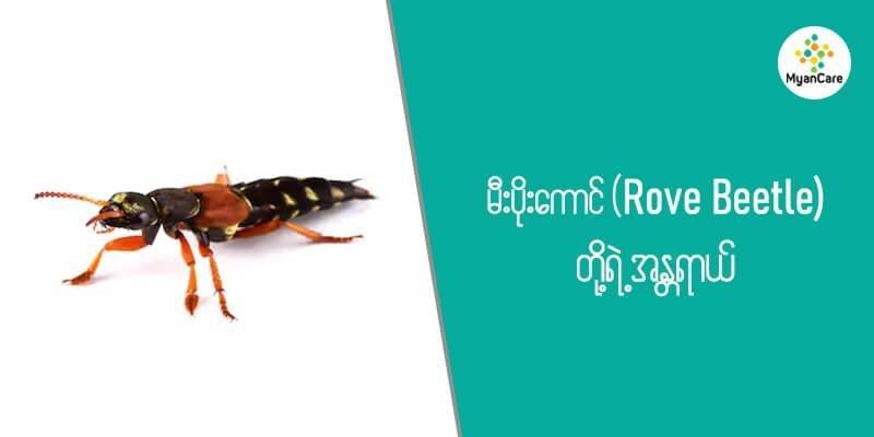 မီးပိုးကောင် (Rove Beetle) တို့ရဲ့အန္တရာယ်